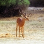 antilope_002_1