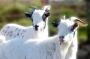 Chèvres_007_1