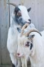 Chèvres_014_1