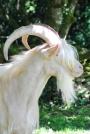 Chèvres_027_1
