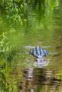 crocodile_03_1