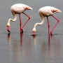 Flamants Roses_005_1