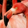 Flamants Roses_009_1