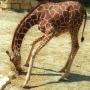 girafe_002_1