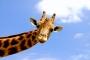 girafe_006_1