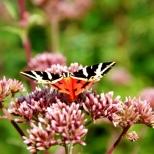 insectes_couleur-161_1_écaille chinée