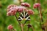 insectes_couleur-162_1_écaille chinée