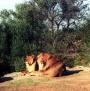 lions_002_1