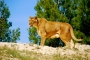 lions_006_1