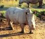 rhinos_003_1