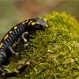 Salamandre_001