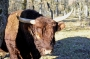 Vaches_008