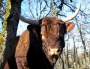 Vaches_010