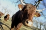 Vaches_017