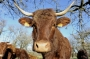 Vaches_025
