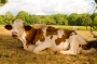 Vaches_061_1