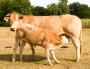Vaches_065_1