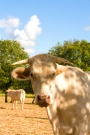 Vaches_071_1