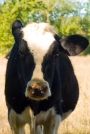 Vaches_072_1