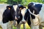 Vaches_093_1